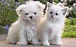 Cane e gatto bianchi sfondo wallpaper 1280x800
