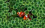 pesci pagliaccio wallpaper 1280x800