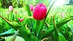 tulipano nel giardino wallpaper 1366x768