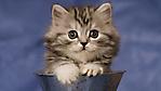 Gatto tigrato nella tazza sfondo wallpaper 1920x1080