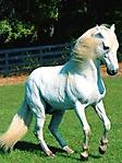 Cavallo bianco criniera bionda sfondo wallpaper 240x320