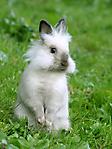 Coniglietto bianco nasino grigio sfondo wallpaper 240x320