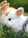 Coniglietto bianco sfondi wallpaper 240x320