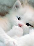 Gatto bianco occhi celesti sfondo wallpaper 240x320