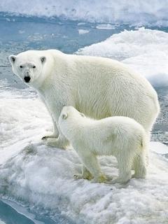 Orsi polari sul ghiaccio sfondo wallpaper 240x320 disegni - Orsi polari pagine da colorare ...