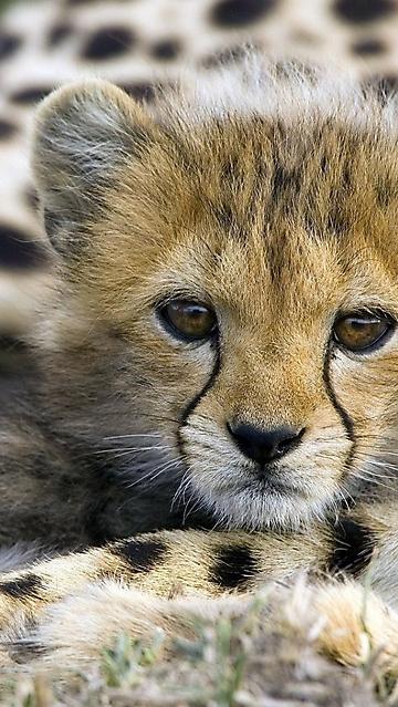 Cucciolo giaguaro wallpaper disegni da colorare - Cucciolo da colorare stampabili ...